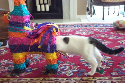 Curiosity may have killed the cat, but it was no picnic for the pinata either.